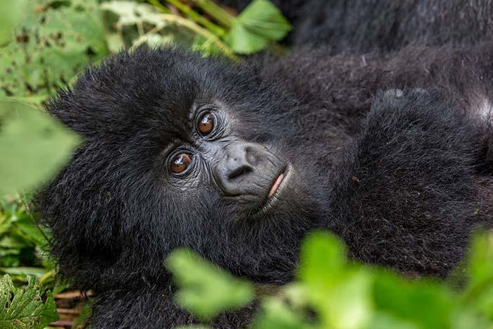 Kongo, park Virunga, Gorylątko